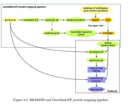 BRAKER流程