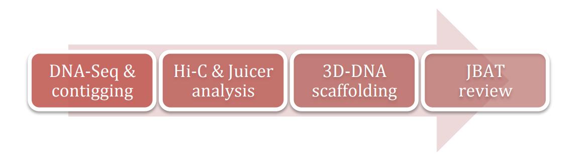 利用3D-DNA流程组装基因组